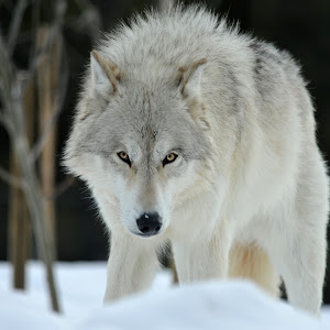 C:\Users\rjpuzio\Pictures\0.ynp wolf.jpg
