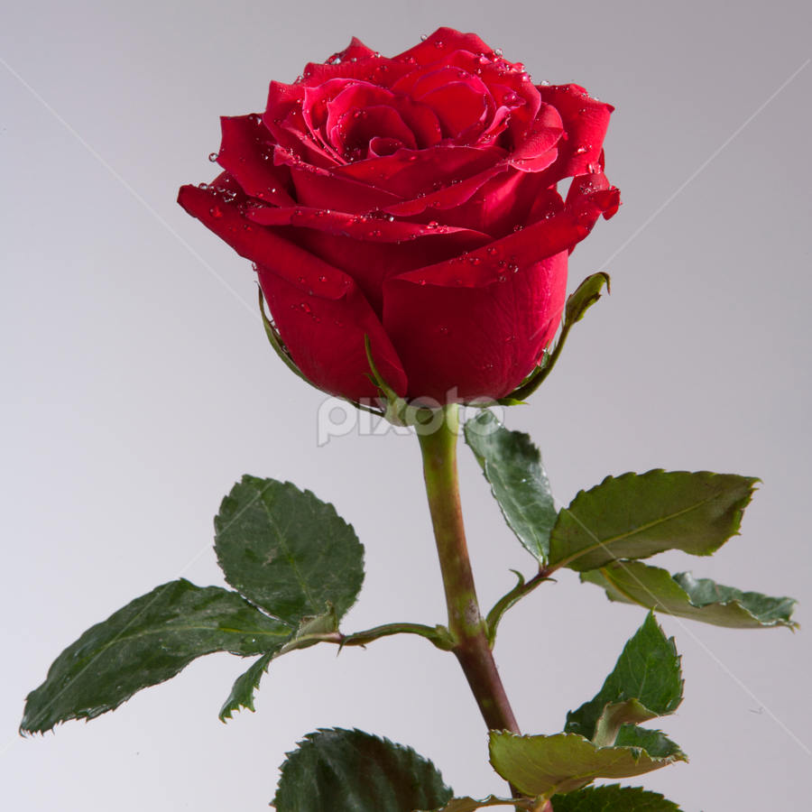Red Rose by Cristobal Garciaferro Rubio - Nature Up Close Flowers - 2011-2013 ( rose, drop, drops, roses, red rose, leaves, flowers, flower )