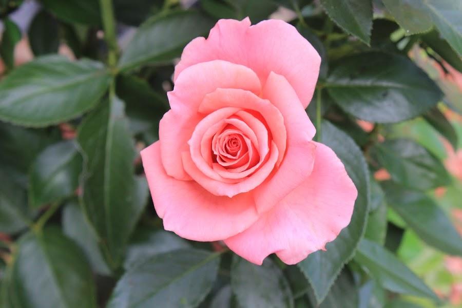 Rose by Bradley Philport - Nature Up Close Flowers - 2011-2013 ( plant, rose, bush, pink, thorns,  )