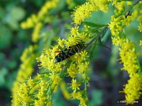 Photo: Beetle on goldenrod, 9.15.10