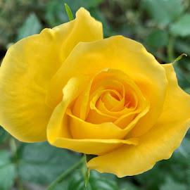 Yellow Rose by Carol Leynard - Instagram & Mobile iPhone ( fragrant flower, yellow rose, rose, flower )
