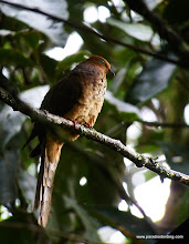 Photo: Little Cuckoo-Dove, Kinabalu National Park