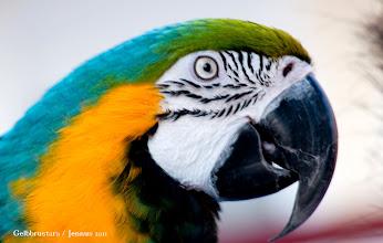 Photo: Gelbbrustaras leben in Südamerika und knacken mit dem kräftigen Schnabel Nusschalen auf