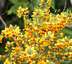 Photo: (Year 2) Day 340 - Gorse on the Roadside