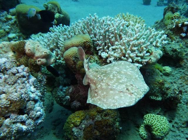 Photo: Raie Torpille à Taba en Mer Rouge