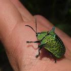 Omocerus tortoise Beetle