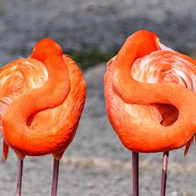 Resting Flamingos by Giancarlo Bisone - Animals Birds ( bird, red, bermuda, flamingos, pond )