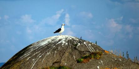 Photo: Морская чайка . Большой Седловатый остров.