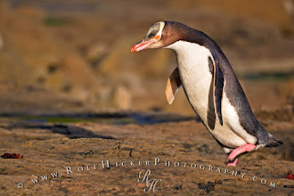"""Photo: #WildlifeWednesday  Yellow Eyed Penguin jumping up a small step on the petrified forest in Curio Bay on the South Island of New Zealand.  Time runs fast those days so I'm happy that I can contribute this image to Wildlife Wednesday by +Mike Spinak. It is one of my favorite themes and Mike is doing a great job curating it too. If you have any wildlife shots make sure to contribute every Wednesday to this photo theme.  I also contribute it to #WhateverWednesday which I like a lot too - it is just simply """"whatever"""", curated by +Cicely Robin Laing   All other themes you can find here on my list of ALL Google photo themes: http://www.rolfhickerphotography.com/blogs/all-google-plus-photo-themes.htm"""