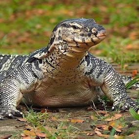 Varanus salvator by Dedi Sukardi - Animals Reptiles ( monitor lizard, reptile, animal )