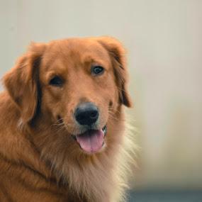 Ichiban Von Jehuda by Nugroho Kristanto - Animals - Dogs Portraits