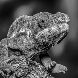 Chameleon by Garry Chisholm - Black & White Animals ( macro, chameleon, nature, reptile, lizard, garry chisholm )