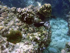 Photo: Amphiprion frenatus (Tomato Clownfish), Entacmaea quadricolor (Bubble Anemone) on the reef, Siquijor Island, Philippines