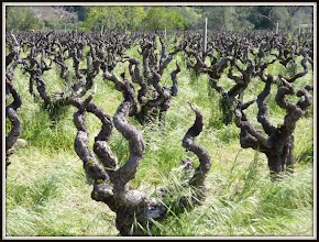 Photo: Grapevines near Napa CA