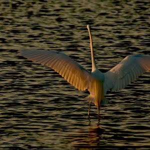 4 17 12 076 Egret take off early sun 6 11 12.jpg