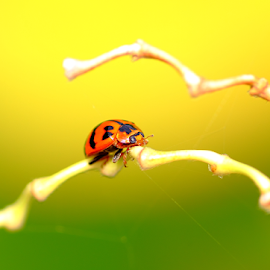 Ladybird beetle by Han Yi - Animals Insects & Spiders