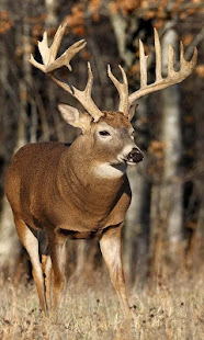 whitetail deer wallpaper free apps on google play