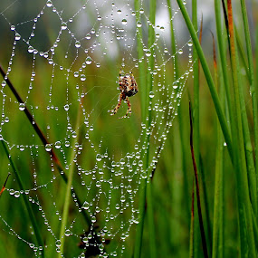 by Yvette O Beirne - Nature Up Close Webs ( grass, drops, web, spider )