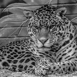 Jaguar by Garry Chisholm - Black & White Animals ( big cat, jaguar, garry chisholm, nature, wildlife )