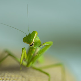 Smiling preying mantis. by John Greene - Animals Insects & Spiders ( smilinginsect, macro, funny insect, happy bug, nature, happy, insect, preying mantis, john greene, smile )