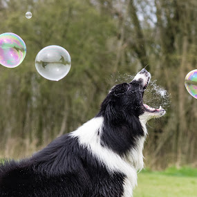 Gotta it by Karen Havenaar - Animals - Dogs Playing ( playing, border collie, pet, bubbles, adorable, soap, dog, domestic )