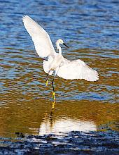 Photo: Egret
