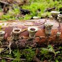 Jellied Bird's Nest Fungus