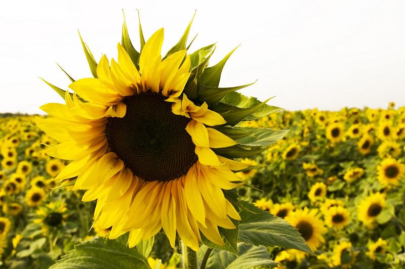 Photo: Sonnenblumenfeld im Sonnenlicht vor weißem Himmel