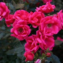 Photo: Beetrose Gartenfreund ® - Züchter: W. Kordes' Söhne 2013 - intensiv pink
