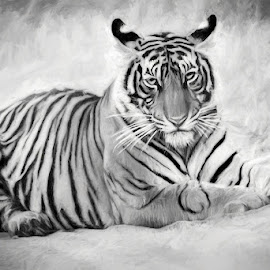 Tiger at rest by Pravine Chester - Black & White Animals ( big cat, animals, monochrome, tiger, wild animals, black and white, wildlife,  )