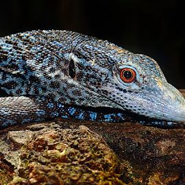 Blue iguana by Gérard CHATENET - Animals Reptiles