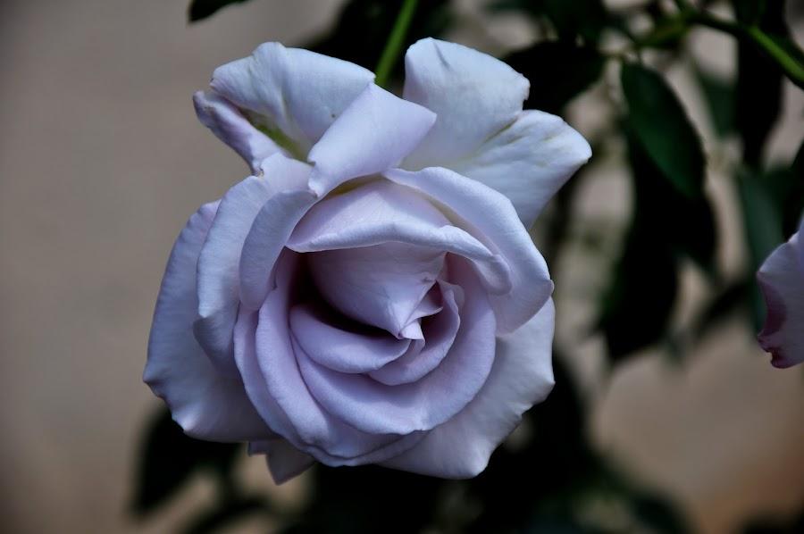 White Rose. by Sambit Bandyopadhyay - Public Holidays Valentines Day (  )