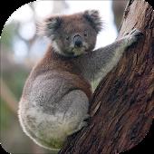 Koala Bear Sounds