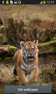 Tiger Live Wallpapers Apps On Google Play