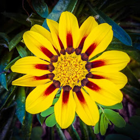 A Flower In The Neighbors Garden! by Anne LiConti - Flowers Single Flower ( #beautyofnature, #beauty, #macrophotography, #nature, #beautiful, #singleflower, #yellowflower, #yellow, #photography, #phonephotography, #flower,  )