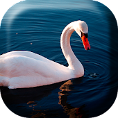 Beautiful Swan  Live Wallpaper