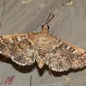 Rhoeoalis Crambid Moth -1