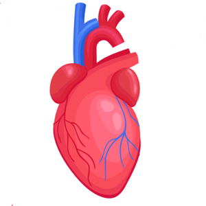 heart---parts-of-the-body---english-for-kids---lingokids