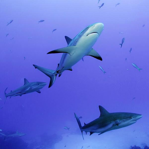 Photo: Reef Shark
