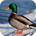 Duck Wallpapers icon