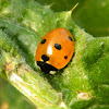 Scarce Seven-spotted Ladybird