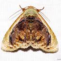 Gallopavo Moth