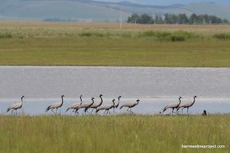 Photo: mademoiselle cranes (Anthropoides virgo) near the Mongolian border