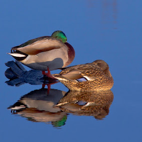 by Wiggo Løvik - Animals Birds (  )
