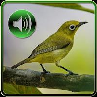 Download Kicau Master Pleci Free For Android Kicau Master Pleci Apk Download Steprimo Com