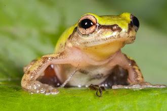 Photo: Possibly a cinnamon-bellied reed-frog; Possivelmente uma rela-de-ventre-canela.