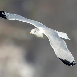 Gull in flight by Debbie Quick - Animals Birds ( debbie quick, nature, maryland, debs creative images, conowingo dam, outdoors, bird, darlington, animal, susquehanna river, wild, gull, wildlife,  )