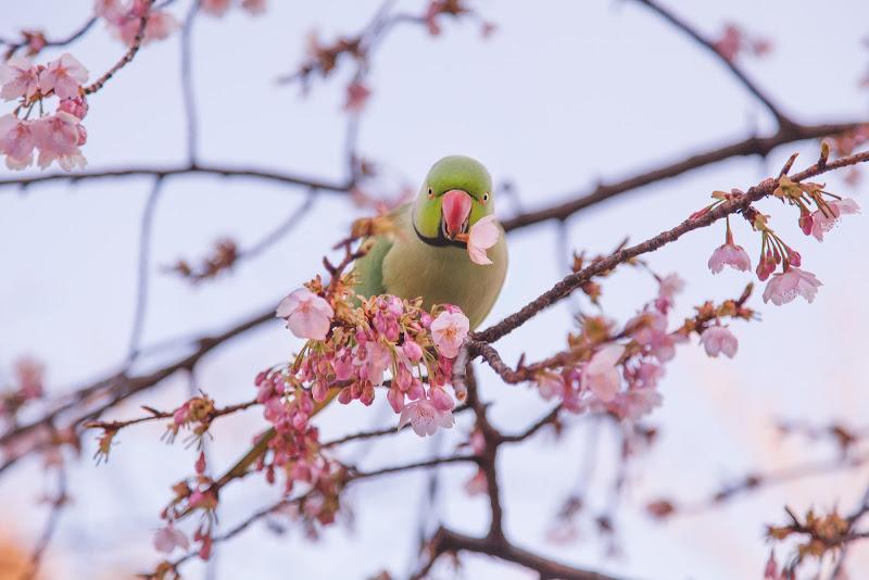 Sakura mon amour di Laura Benvenuti