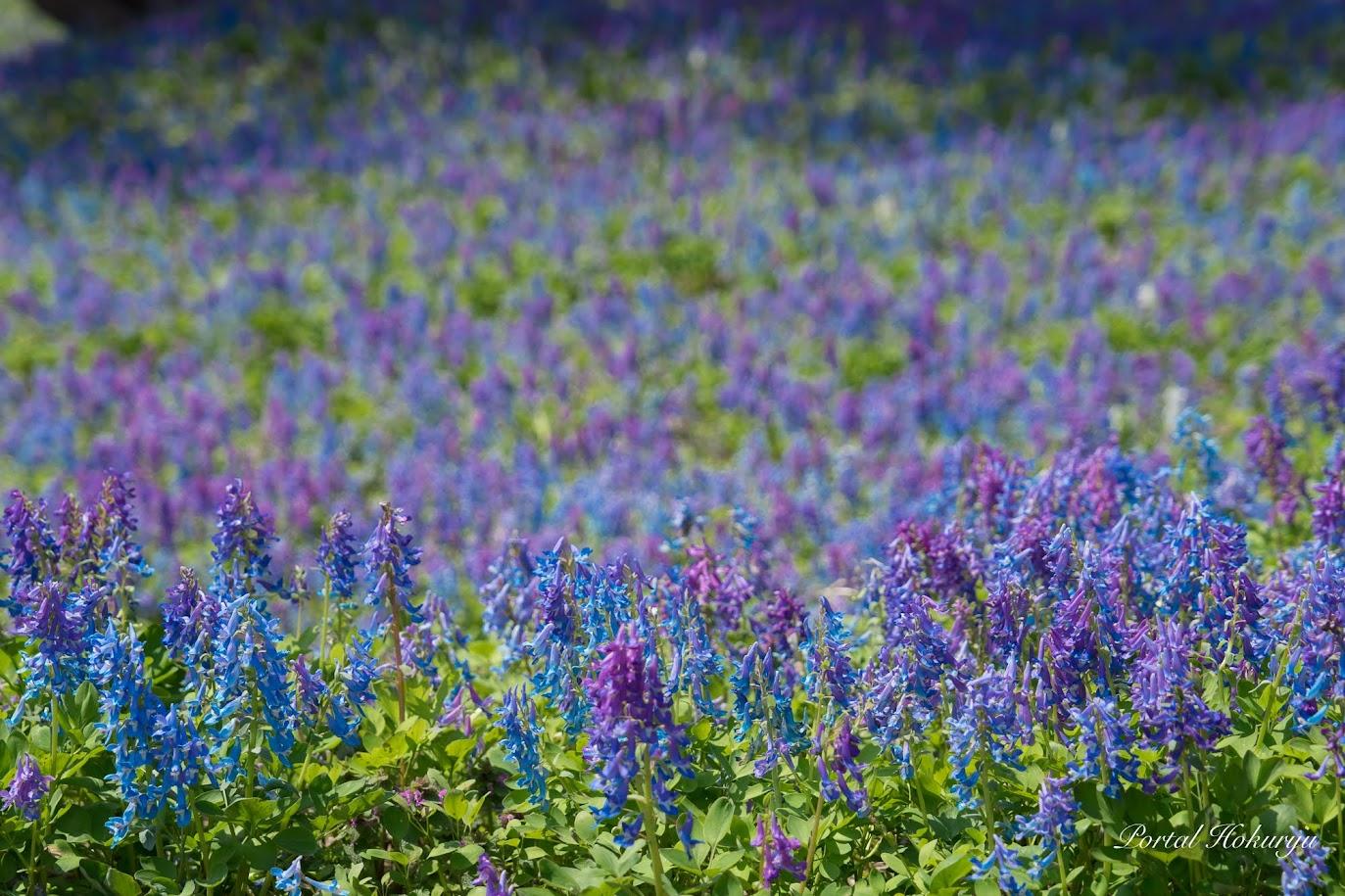 ブルーとヴァイオレットの神秘的な花園
