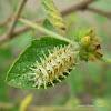 Laothus (Caterpillar)